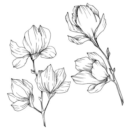 Illustration pour Vector Magnolia floral botanical flowers. Black and white engraved ink art. Isolated magnolia illustration element. - image libre de droit