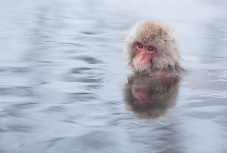 Snow monkey in hot springs of Nagano Japan.