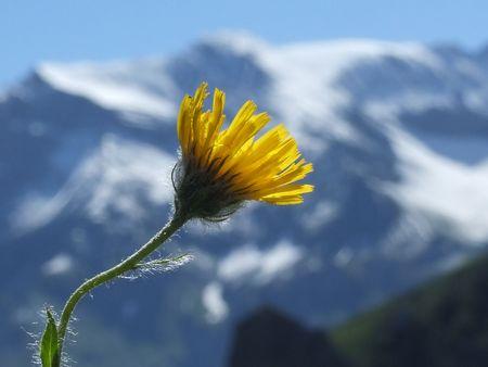6 Flower/Nature/Mountain/Berg/Blume/Natur/Alpine