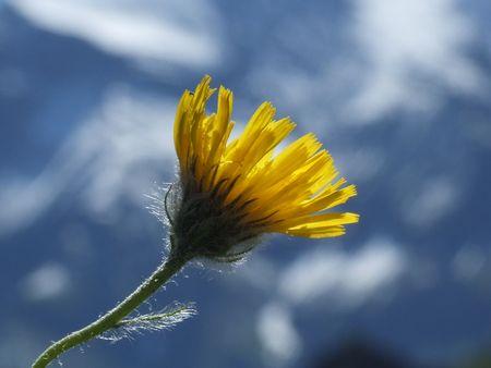 32 Flower, Nature, Mountain, Berg, Blume, Natur, Alpine