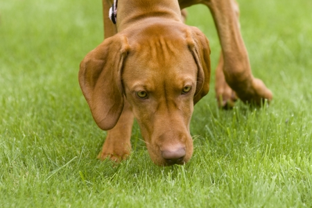 A Hungarian Vizsla dog sniffing the grass heading towards the camera.