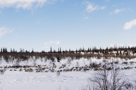 in the far cold north, a herd of wild reindeer flies through the snow-covered wintery ole