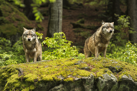 Two wolves on a rocky plateau lie in wait for prey, Canis lupus, wolf, CZECH REPUBLIC.
