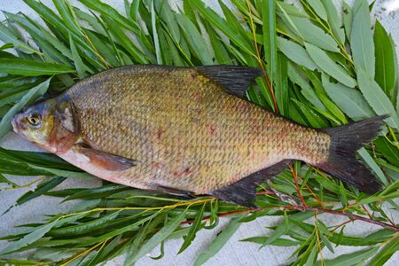 Photo pour Freshly caught bream on the branches of a willow. - image libre de droit