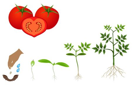 Illustration pour Sequence of a tomato plant growing isolated on white. - image libre de droit