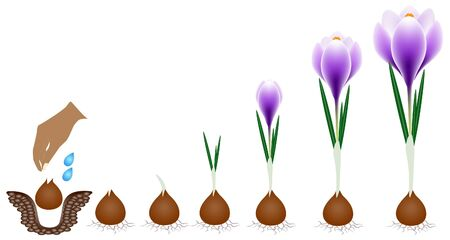 Illustration pour Cycle of growth of a crocus plant isolated on a white background. - image libre de droit