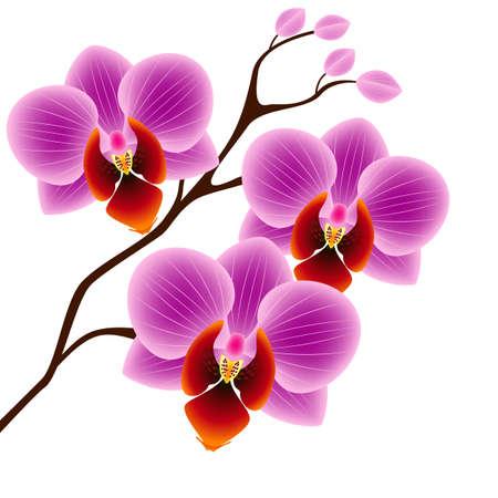 Illustration pour A branch of orchids on a white background. - image libre de droit