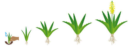 Illustration pour Cycle of growth of aloe vera plant on a white background. - image libre de droit