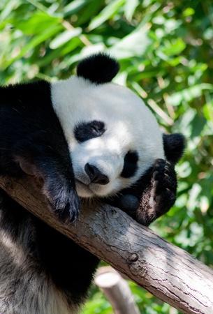 San Diego Zoo, the sleeping panda