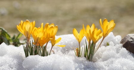 Photo pour Crocuses yellow blossom on a spring sunny day in the open air. Beautiful primroses against a background of brilliant white snow. - image libre de droit