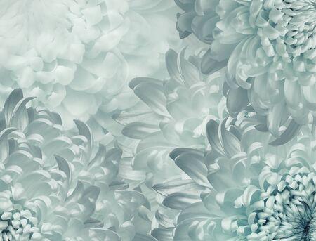 Photo pour chrysanthemum flowers. light  turquoise  background. floral collage. flower composition. Close-up. Nature. - image libre de droit