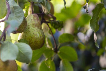 Foto für organic pears on a pear tree close-up - Lizenzfreies Bild