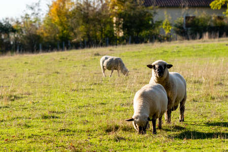 Photo pour group of sheeps in pasture - image libre de droit