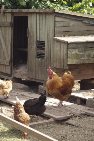 A wooden constucted chicken coup with a brown cockeral and three hens. Located in rural Dorset, England.
