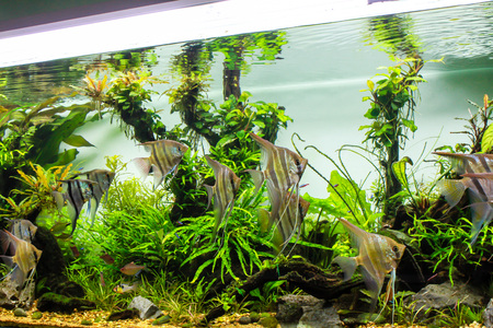 Photo for Schooling of freshwater angelfish in planted tank - Royalty Free Image