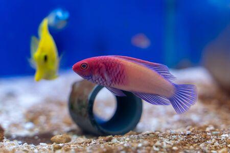 Photo pour Red Velvet Fairy Wrasse (Cirrhilabrus rubrisquamis) origin from Maldives - image libre de droit