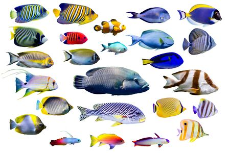 Photo pour Set of Marine fish on white isolated background. Peacock, Emperor, Flame angelfish. clown fish , Firefish, Purple firefish, Butterflyfish, Sweetlips, Humphead wrasse and Threadfin snapper etc. - image libre de droit