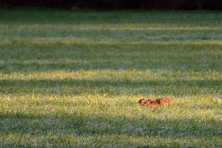 A hare squeezes flat on the ground