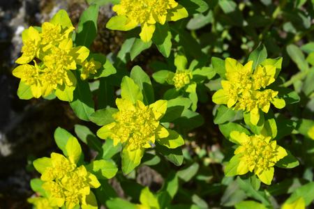 Cushion spurge yellow flowers - Latin name - Euphorbia epithymoides (Euphorbia Polychroma)