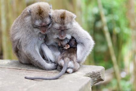 Monkeys in monkey forest in Bali