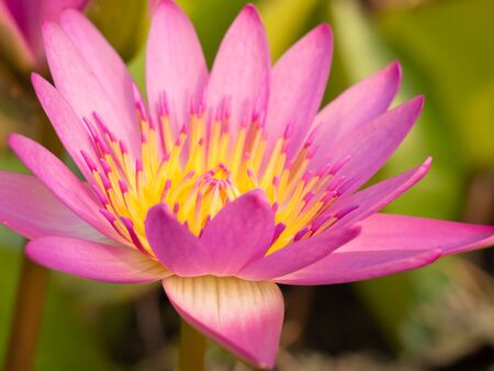 Photo pour Beautiful blossom pink lotus flower or waterlily on natural green background,power of nature concept - image libre de droit