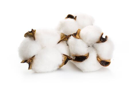 Photo for Fluffy cotton ball of cotton plant on a white background. - Royalty Free Image