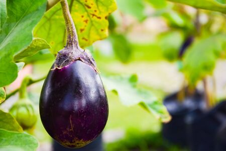 Photo pour Purple Eggplant or Brinjal or Aubergine or Garden egg or Guinea squash or Solanum melongena were planted on the ground.  It is a type of Eggplant, looks like an oval. They are vegetable for cooking. Picture in blurred background - image libre de droit