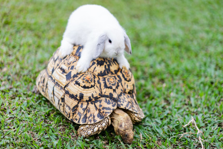 Foto de Rabbit on the turtle after completing the race at the garden in the morning. - Imagen libre de derechos