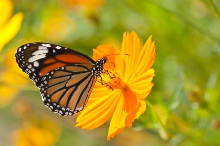 Foto per Butterfly feeding on a Flower - Immagine Royalty Free