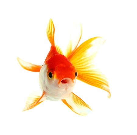 Gold fish  Isolation on the white