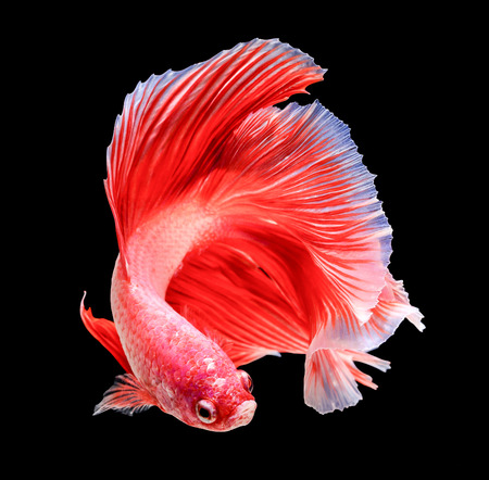 Foto de siamese fighting fish isolated on black background. - Imagen libre de derechos