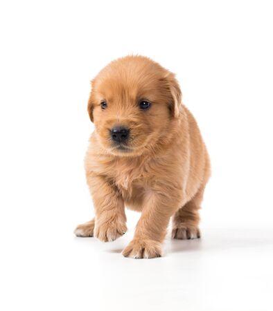 Photo pour Cute Golden Retriever Puppy isolate on white background. - image libre de droit