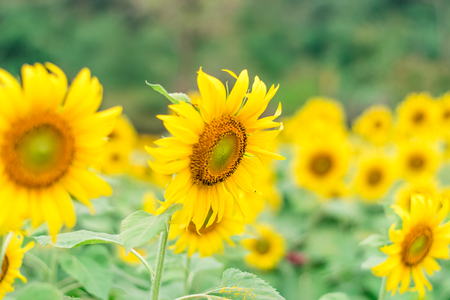 Photo for Beautiful sunflowers in the field natural background - Royalty Free Image