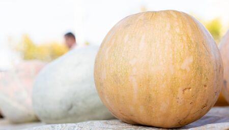 Foto de Pumpkin as background and texture.Pumpkin as background and texture - Imagen libre de derechos