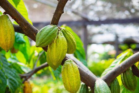 Photo pour Fresh cocoa fruit from cocoa trees - image libre de droit
