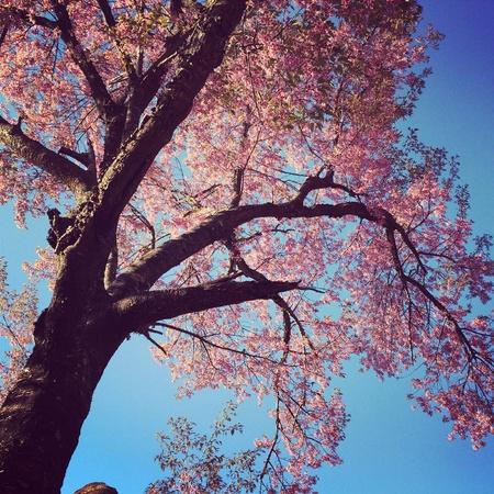 Ripeness pink flowers.Wiang kan Chiang rai