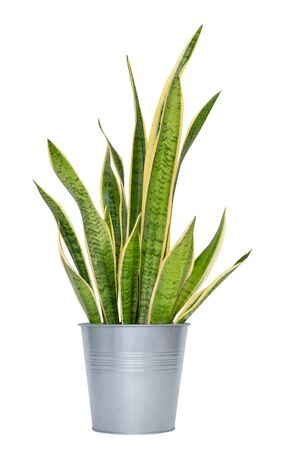 Photo pour snake plant in pot, indoor plant isolated on white background - image libre de droit
