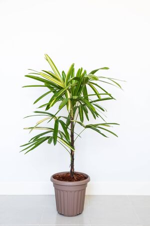 Photo for Lady Palm or Bamboo Palm in pot isolated on white wall background - Royalty Free Image