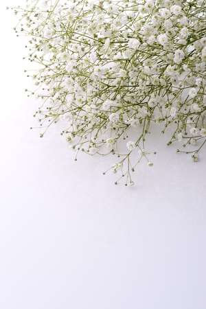 Baby's breath flowers in white background