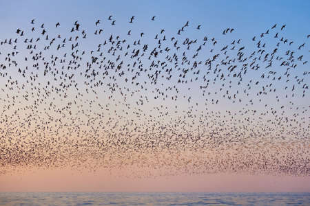 Photo pour Flock of flying seagulls over the blue sea in the pink sunset sky - image libre de droit