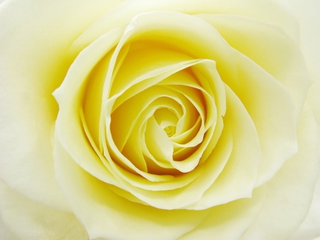 heart of yellow rose closeup as flora background