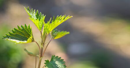Medicinal herbs or food herbs. Young nettle or common nettle. Perennial flowering plant.