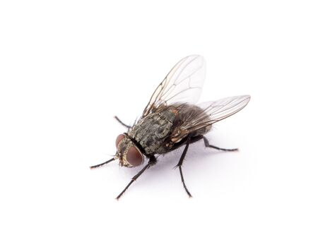 Photo for fly isolated on a white background - Royalty Free Image