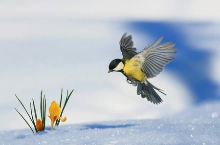 Photo pour little bird tit flies up to growing out of the snow bright yellow snowdrops in the spring Park - image libre de droit