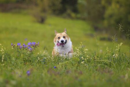 Photo for cute charming puppy dog Corgi runs merrily through the blooming summer Sunny meadow sticking out his pink tongue - Royalty Free Image