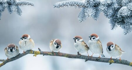 Photo for  Christmas card with lots of cute little birds, the sparrows sitting in the winter garden under fir branch under snow - Royalty Free Image