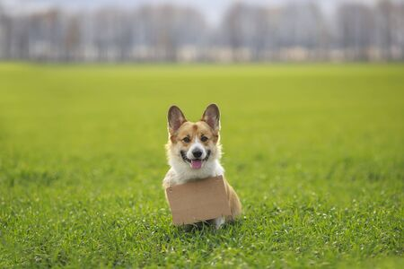 Photo for cute a ginger Corgi dog puppy sits outside on the green grass with a blank sign for the inscription on its neck - Royalty Free Image