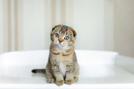 Photo pour cute clean small lop-eared kitten of brown color on a light background in full growth. - image libre de droit