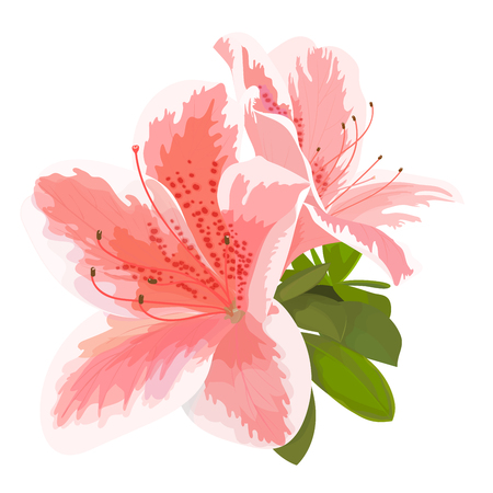 Illustration pour Vector illustration of two delicate pink and white flower, bud of rhododendron, bloom on a branch. Beautiful Azalea on white background - image libre de droit