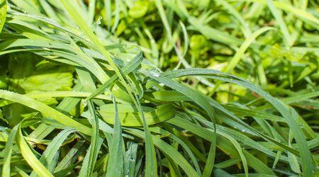 the grass, dew